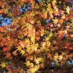 黄色から赤色の色づいたイロハモミジの紅葉