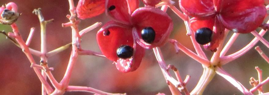 Euscaphis japonica/ ゴンズイ