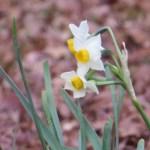 スイセンの花のアップ ニホンスイセン