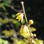 ロウバイの花 アップ