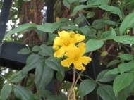 Yellow jasmine/ キソケイ