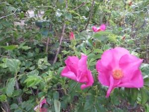 Wild rose/ Rugosa rose ハマナス ハマナスの花