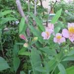 Alstroemeria/ アルストロメリア