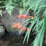 ヒメヒオウギスイセンの花と葉