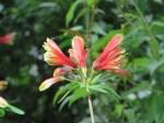 Peruvian lily/ ユリズイセン