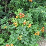 Wild rose/ Rugosa rose ハマナス ハマナスの実
