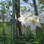 Formosa lily / タカサゴユリ