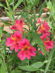 アルストロメリアの花(赤色)