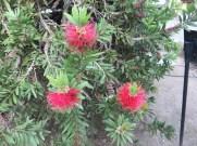 少し小ぶりなブラシノキの花