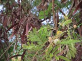 ギンネムの花