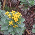 Gold and silver chrysanthemum/ イソギク
