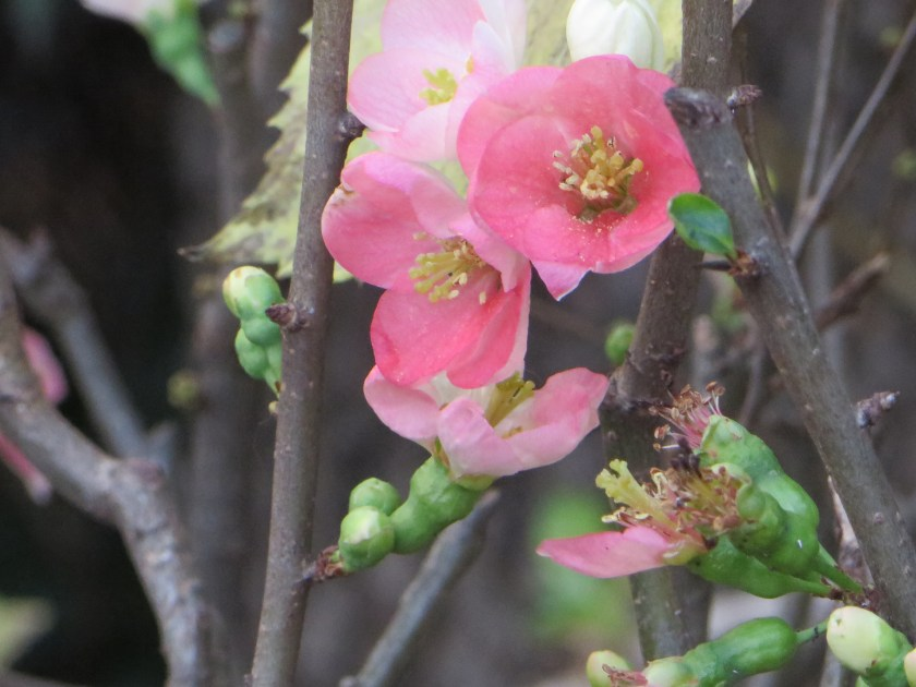 Flowering quince/ ボケ