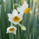 Narcissus/ スイセン
