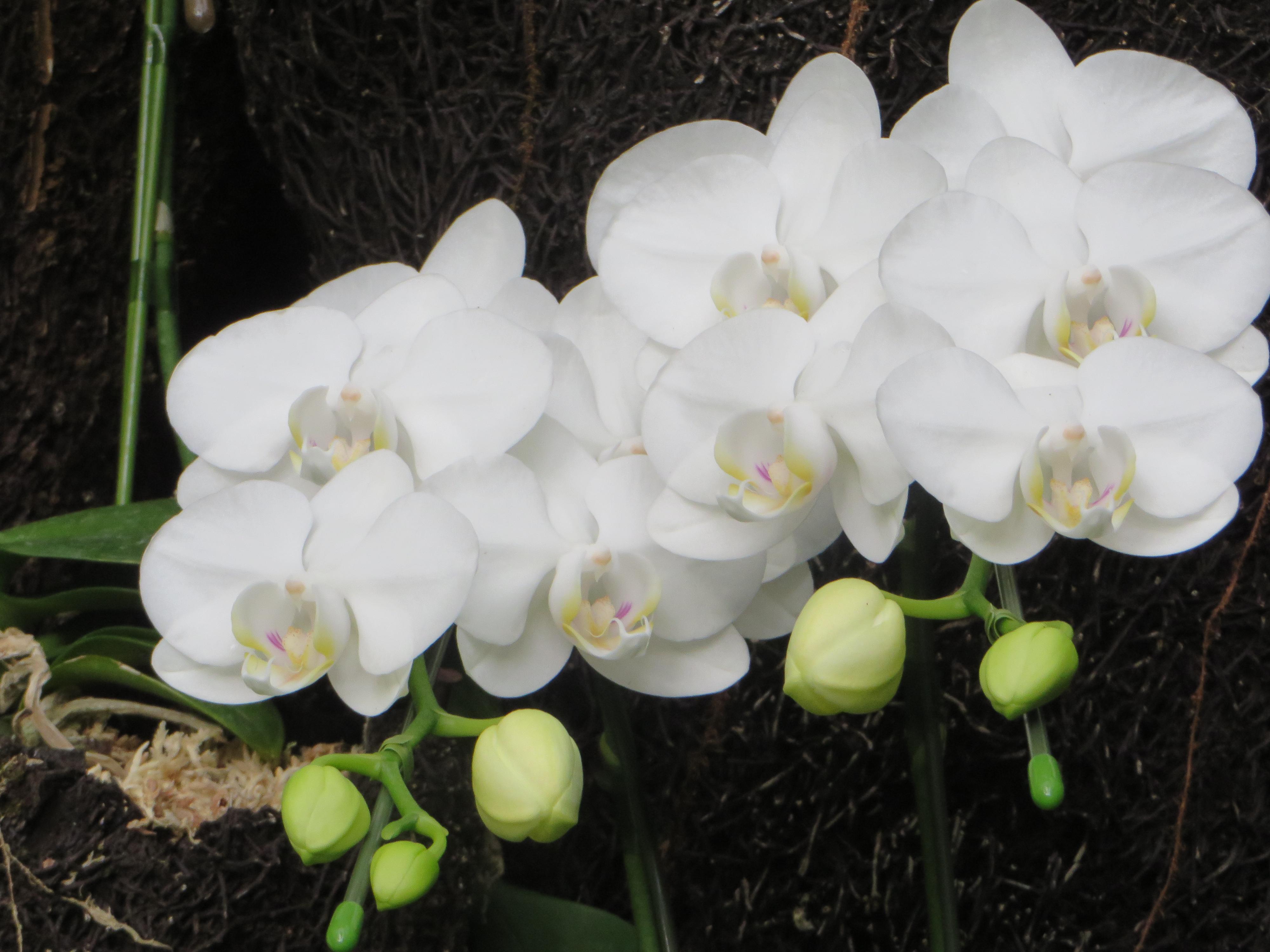 moth orchid/ コチョウラン