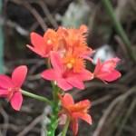 オレンジ色のエピデンドラム 花のアップ