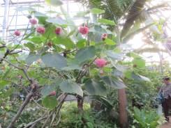ドンベア・ウォリキー 花の咲いている様子