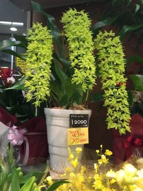 鉢植えで売られているグラマトフィラム