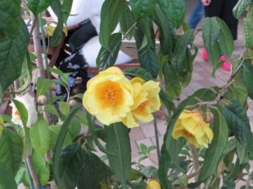 キンカチャの植物の様子