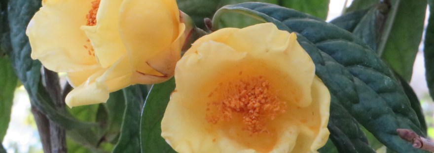 Yellow camellia/ キンカチャ