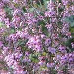 Channelled heath / ジャノメエリカ 花の咲いている様子