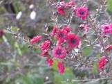 ギョリュウバイの花 アップ