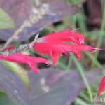 パイナップルセージ 花のアップ