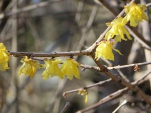 ソシンロウバイの花