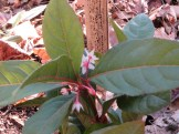 ヤブコウジの花