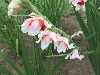 Gladiolus/ グラジオラス