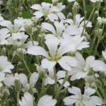 セラスチウム 花のアップ
