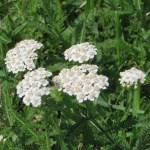 セイヨウノコギリソウ 花の姿