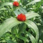 センニチコウ オレンジ色の花