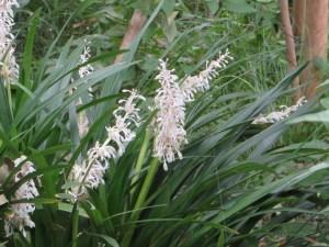 ノシランの花と草の姿