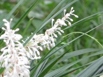 White lilyturf/ノシラン