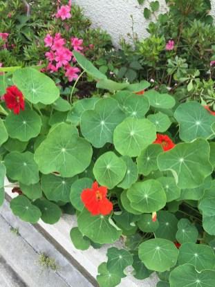 赤花のキンレンカ