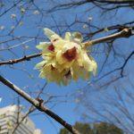 ロウバイの花のアップ