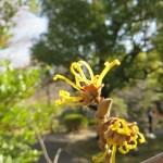 マンサクの花 アップ