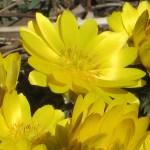 フクジュソウ 花のアップ