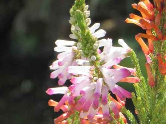 エリカ ピンクとオレンジの花