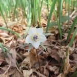 セツブンソウ 花のアップ