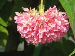 ドンベア・ウォリキー 花のアップ