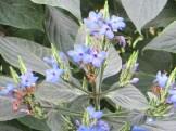 ルリハナガサ 花の姿
