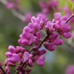 ハナズオウ 花のアップ