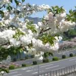 シロタエ(白妙)の花の様子