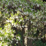 ドウダンツツジ 花の様子
