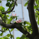 カリンの花の咲いている様子