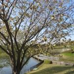 ウコン(黄桜)の木の様子
