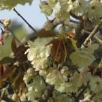 ウコン 黄桜の花