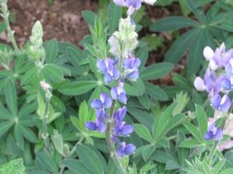 テキサスルピナス 青い花