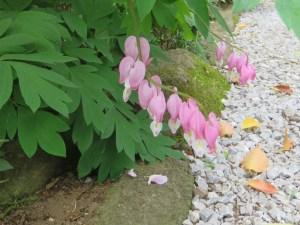 ケマンソウ 花の姿